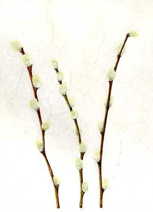 Pussy Willow on vellum