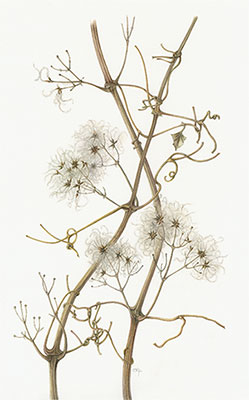 Old Man's Beard (Clematis vitalba) painted by Sally Pond