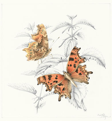 Comma Butterfly on Stinging Nettle